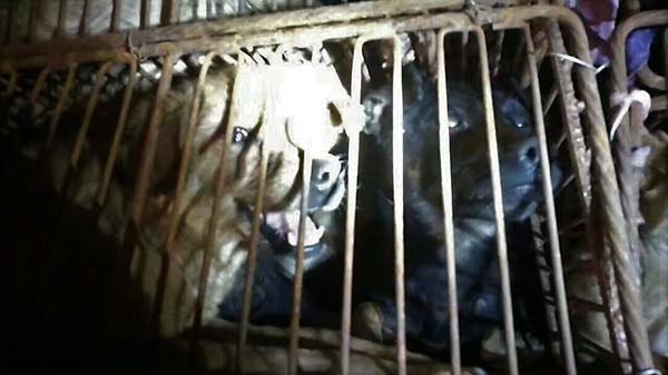 Terrified dogs in cages in China