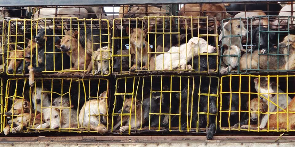Dogs rescued from the dog meat trade