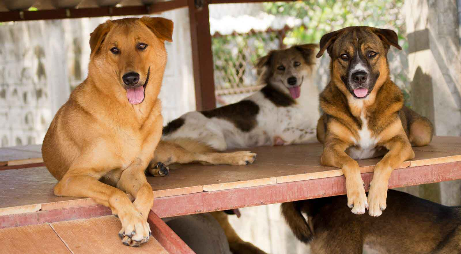 Dogs in their enclosure at the Soi Dog Foundation