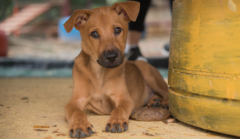 A puppy at Soi Dog Foundation