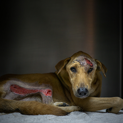 Soi Dog Foundation Ending The Suffering Of Animals In Asia