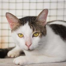 Adopt Cat Damon
